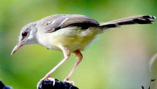 Burung Prenjak Kebun