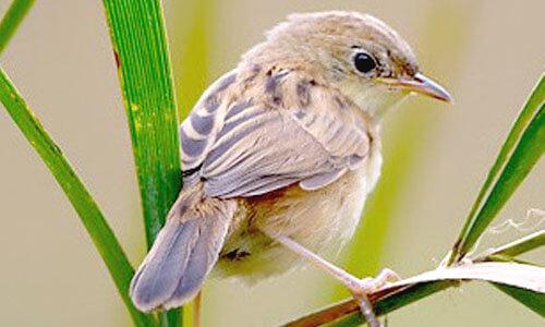 Burung Prenjak Sawah