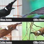 Cara Membedakan Burung Cililin Jantan dan Betina