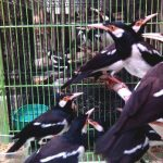Cara Memilih Burung Jalak Suren Berkualitas di Kandang Ombyokan