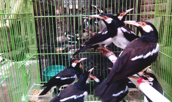 Cara Memilih Burung Jalak Suren Ombyokan