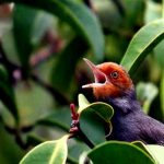 Cara Menjinakan Burung Prenjak Kepala Merah