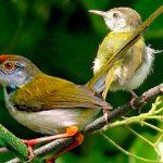 Cara Merawat Burung Prenjak Tangkapan