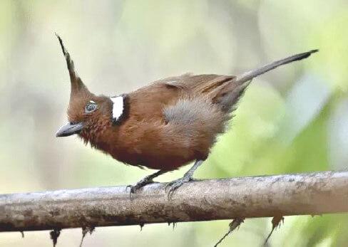 Harga Burung Cililin Terbaru