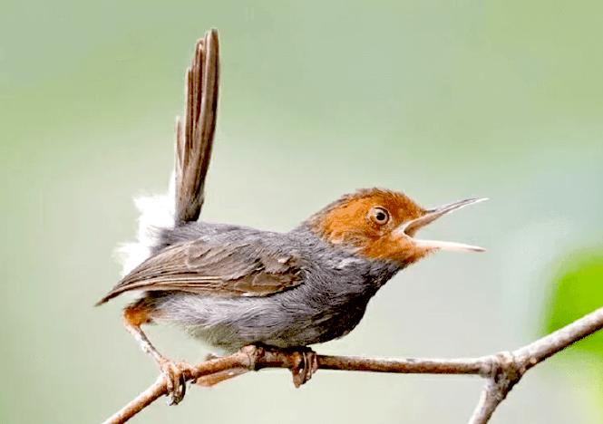 Harga Burung Prenjak