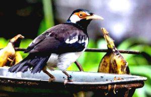 Makanan Burung Jalak Suren Agar Cepat Gacor