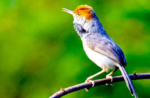 Burung Prenjak Atas