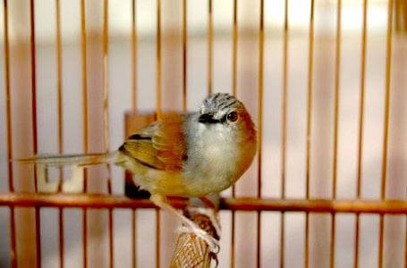 Burung Prenjak Gunung