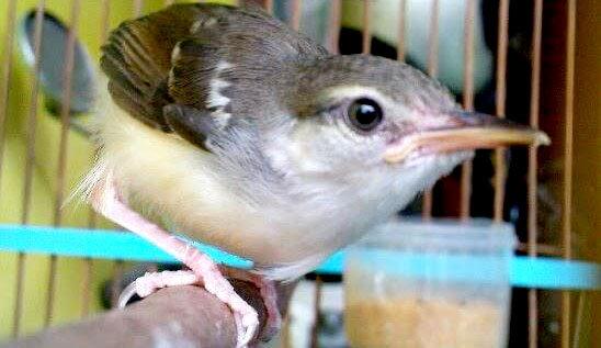 Burung Prenjak Putih