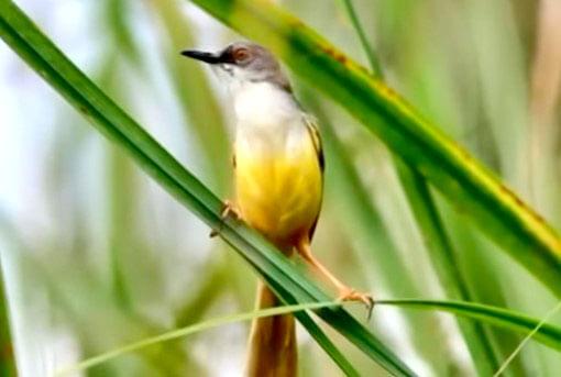 Burung Prenjak Tebu