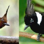 Download Suara Burung Cililin Mp3