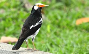 Download Suara Burung Jalak Suren Gacor