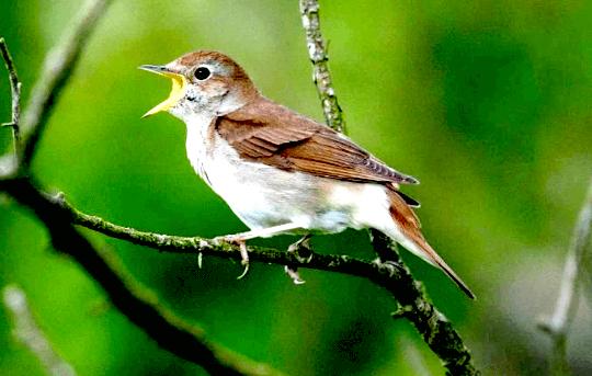 Download Suara Burung Prenjak Durasi Panjang
