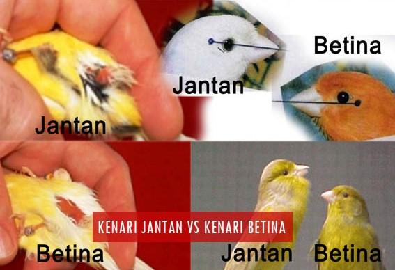 Cara Membedakan Burung Kenari Jantan dan Betina