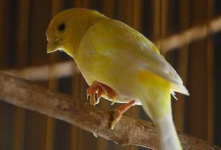 Cara Membedakan Burung Kenari Tua dan Muda