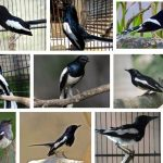 Harga Burung Kacer Terbaru