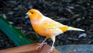 Harga Burung Kenari Terbaru
