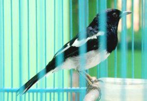 Jenis Burung Kacer Sumatra