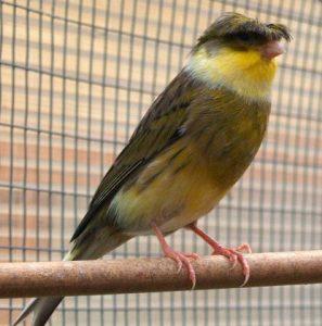 Jenis Burung Kenari Gloster