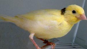Jenis Burung Kenari Waterslager
