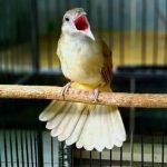 Perawatan Burung Kapas Tembak