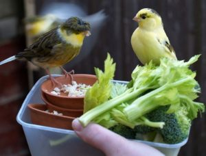 Sayur Pakan Kenari