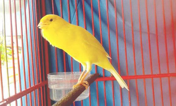 Download Suara Burung Kenari Gacor