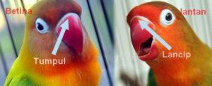 Bentuk Paruh Lovebird