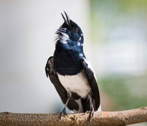 Cara Merawat Burung Kacer Agar Gacor