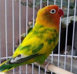 Harga Burung Lovebird Blorok