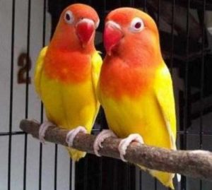 Harga Burung Lovebird Lutino