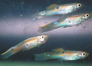 Ikan Kecil Pakan Kacer