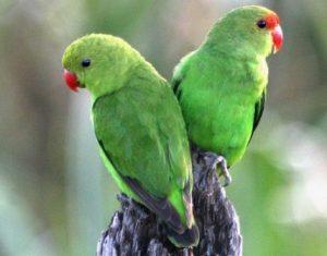 Jenis Burung lovebird abisinia