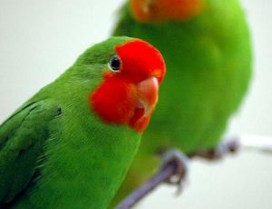 Jenis Burung Lovebird Muka Merah