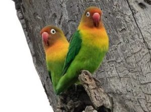 Jenis Lovebird Fischer