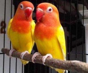 Jenis Lovebird Lutino
