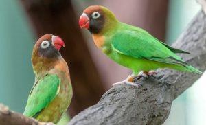 Jenis Lovebird Pipi Hitam