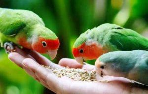 Pakan Burung Lovebird