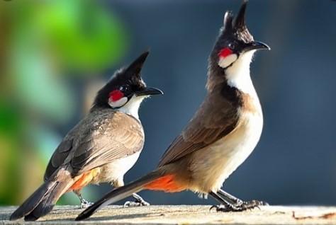 Harga Burung Kutilang Jambul