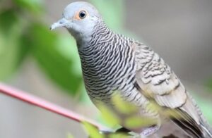 Burung Perkutut Bangkok