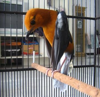 Harga Burung Anis Merah