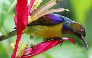 Harga Burung Kolibri Kelapa