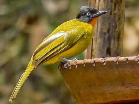 Harga Burung Kutilang Emas