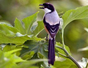 Harga Burung Pentet Madura