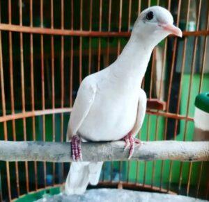 Burung Perkutut Putih