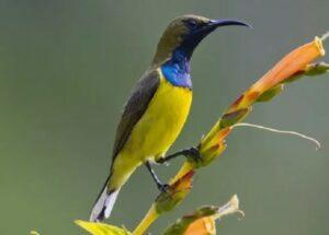 Harga Kolibri Sriganti