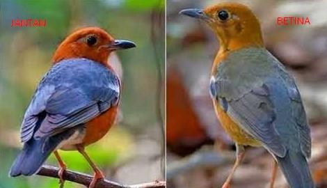 Suara Burung Anis Merah Teler