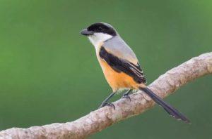 Suara Burung Cedet