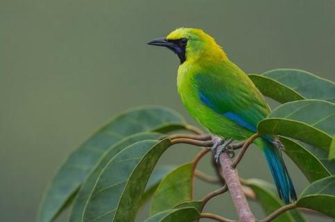 Download Suara Burung Cucak Ijo