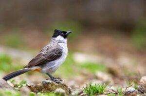 Suara Burung Kutilang